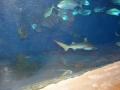Rekin w Malta National Aquarium