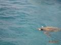 Żółw caretta-caretta